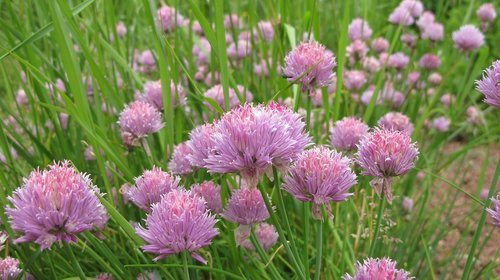 chives  herbs  meadow