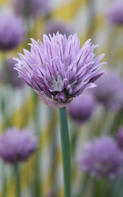 chives spring purple