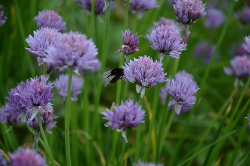 chives chives blossom food