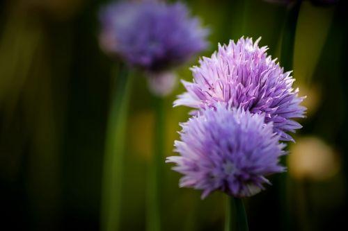 chives flower blossom