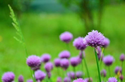 chives chive flowers herb garden