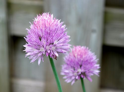 chives flowers floral bloom