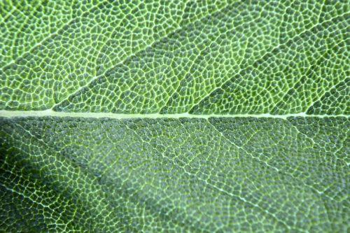 chlorophyll basil leaf