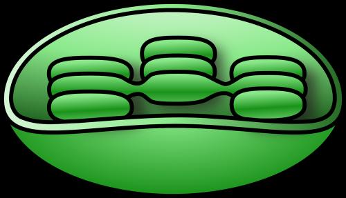 chloroplast chlorophyll unlabelled