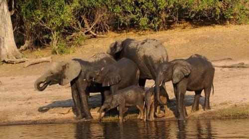 chobe elephant family africa