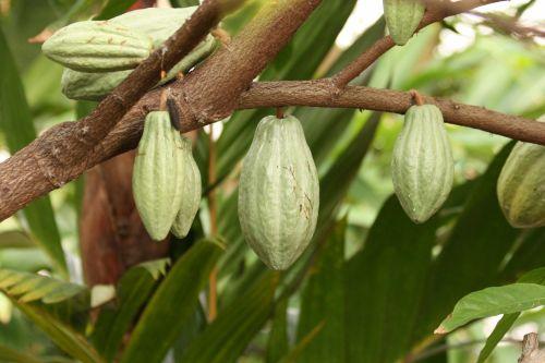 Chocolate Tree Pods