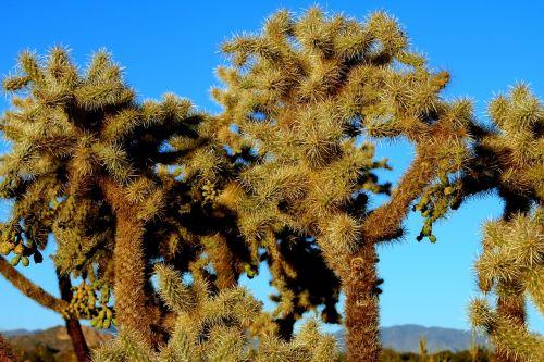 cholla cactus cactus cholla