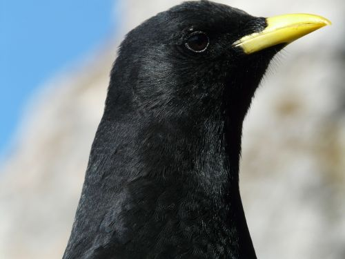 chough bird black