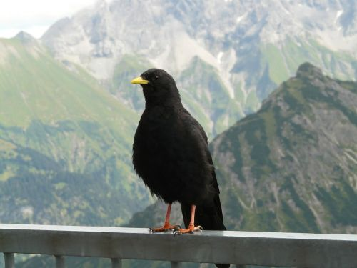 chough pyrrhocorax graculus bergdohle