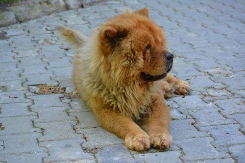 chow chow tibet lion dog