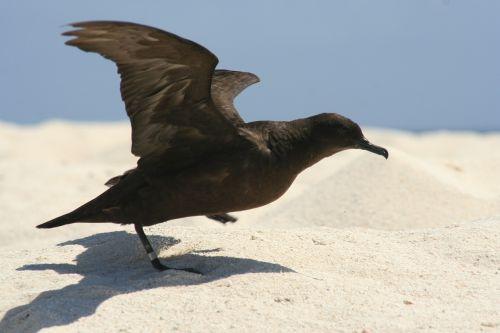 christamas shearwater bird taking off