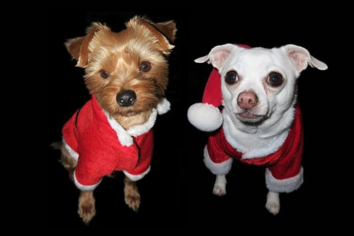 christmas dog festive