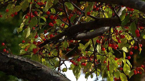 Christmas Berries Background