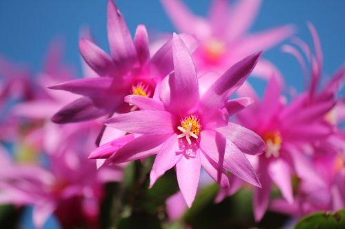 Kalėdų kaktusas,Schlumbergera,gėlės,žiedai,rožinis,kaktusas