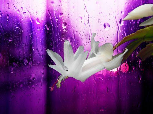 christmas cactus white blossom