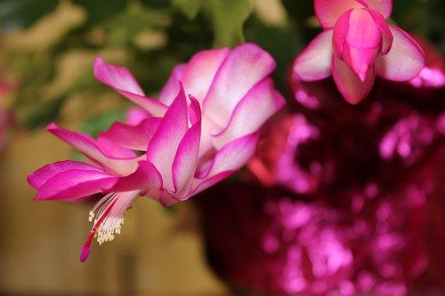 Kalėdų kaktusas, žydėjimo kaktusas, gėlė