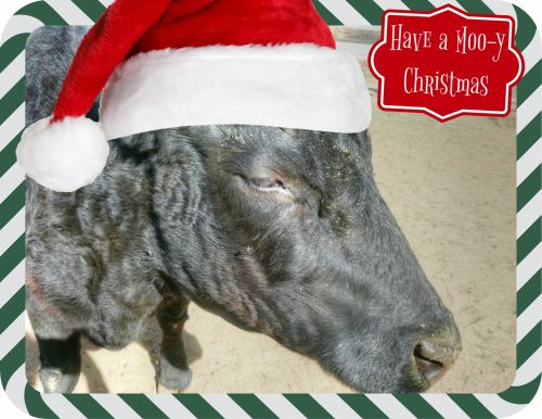 Kalėdos, xmas, karvė, karvės, juoda & nbsp, karvė, moo, pasveikinimas, atostogos, sezoninis, Kalėdinė karvė