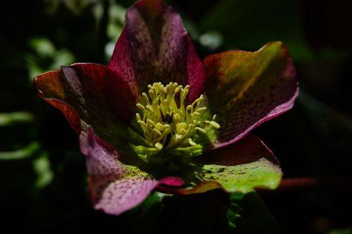 christmas rose anemone blanda flower