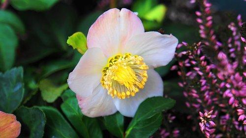 christmas rose  blossom  bloom