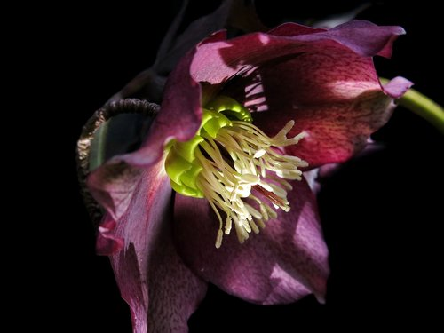 christmas rose  hellebore  anemone blanda