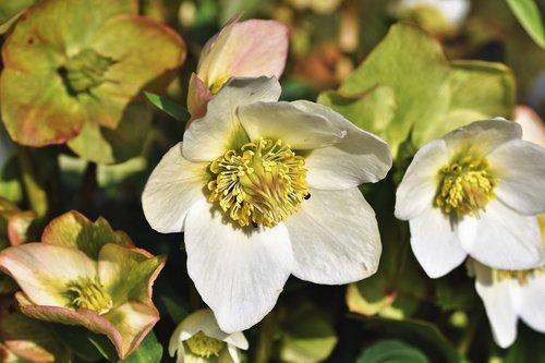 christmas rose  anemone blanda  winterblueher