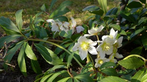 christmas rose plant nature