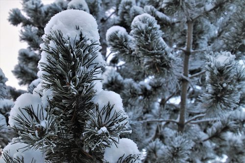 christmas tree  coniferous  frost