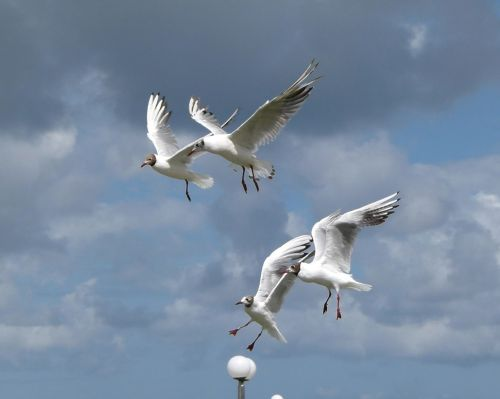 chroicocephalus ridibundus birds flying