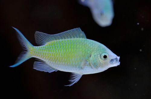 chromis viridis marine