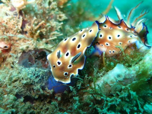 chromodoris nudibranch slug