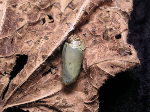 chrysalis butterfly nature
