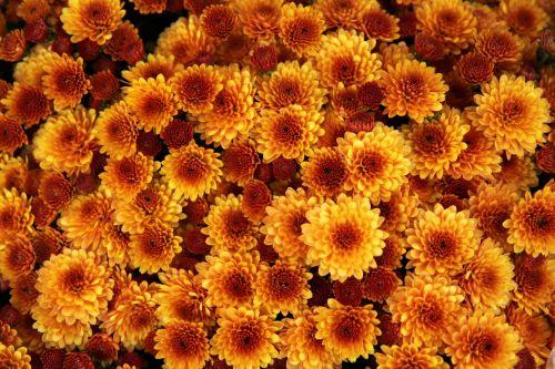 chrysanthemum flower orange