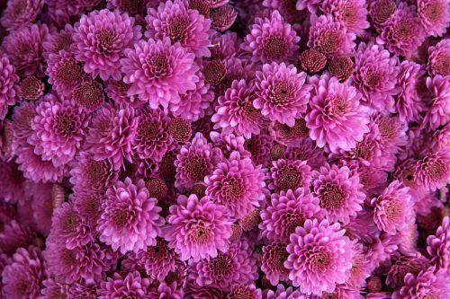 chrysanthemum flower pink