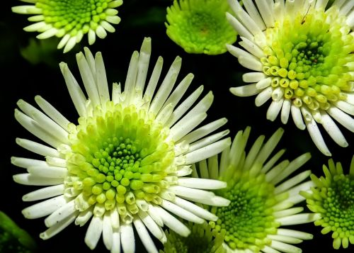 chrysanthemum flower white