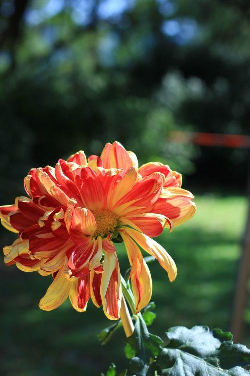 chrysanthemum red summer