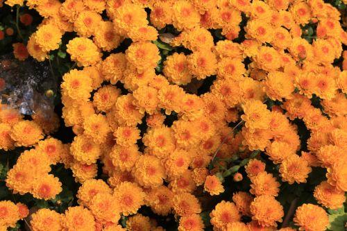chrizantema,Korėjos Respublika,gėlės,augalai,geltona,žiedas,asteraceae,geltona gėlė,Korėja
