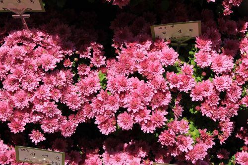 chrysanthemum korea pink flower