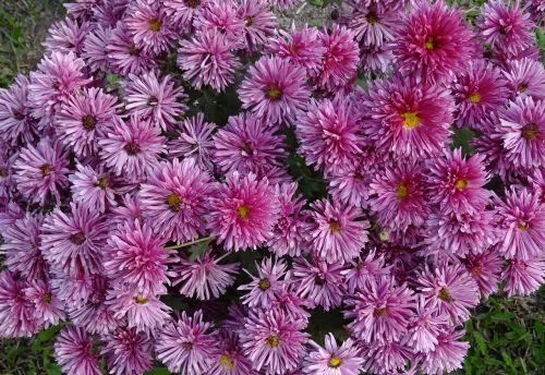 chrysanthemum asteraceae sevanthi