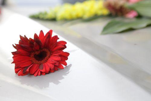 chrysanthemum flowers red