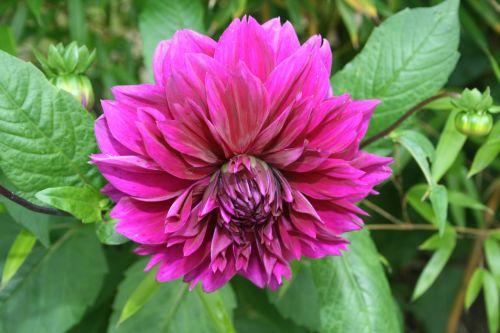chrysanthemum pink fill