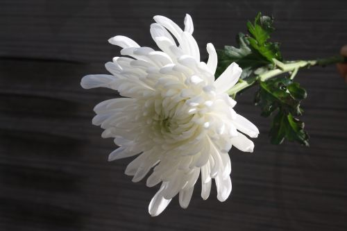 chrysanthemum mourning article