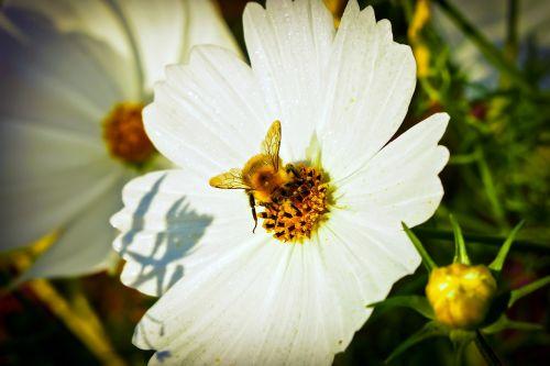 chrysanthemum flower blossom