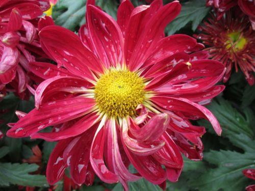 chrysanthemum plant park