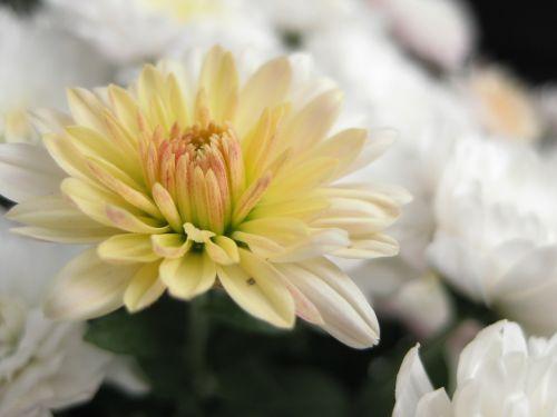 chrizantema,gėlė,asteraceae,ruduo,dekoratyvinis augalas,žiedas,žydėti,makro
