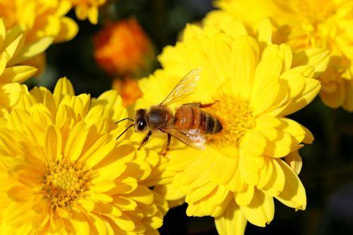 chrysanthemum flowers bee
