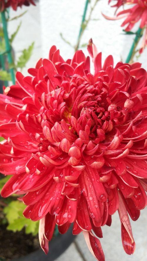 chrysanthemum flowers plants