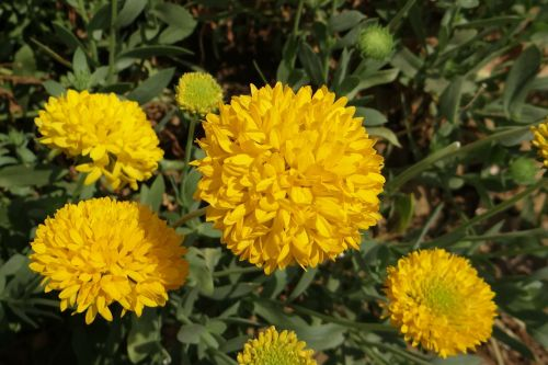 chrysanthemum yellow sevanthi