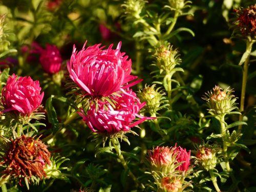 chrysanthemum petite flowers