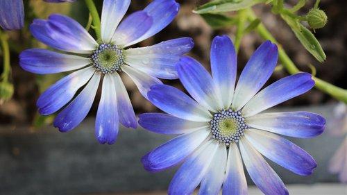 chrysanthemum  sunshine  flowers