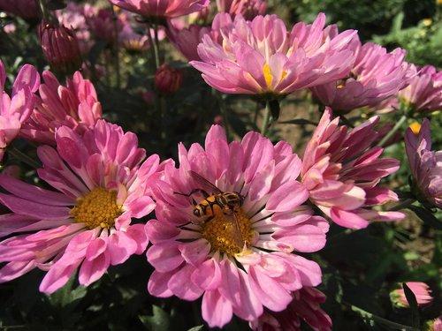 chrysanthemum  flowers  autumn